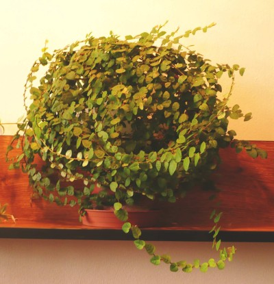 Plantas Colgantes Para Interiores - Plantas-colgantes-de-interior