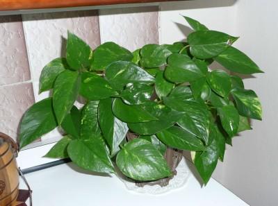 Epiremnum pinnatum
