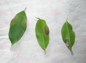Ficus benjamina - skrvnité listy