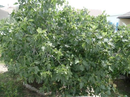 Ficus carica - strom