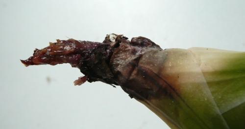 Gasteria maculata - hniloba