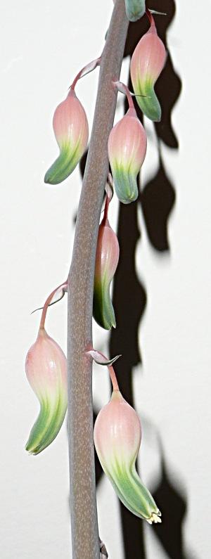 Gasteria maculata - květ