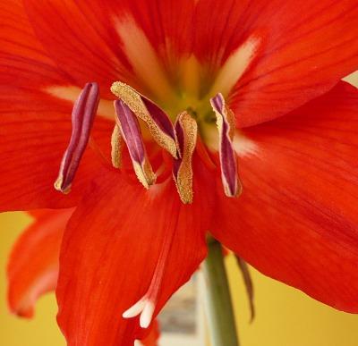 Hippeastrum - detail květu