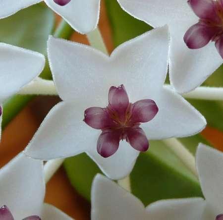 Květ voskovky