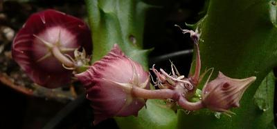 Huernia schneideriana - poupata