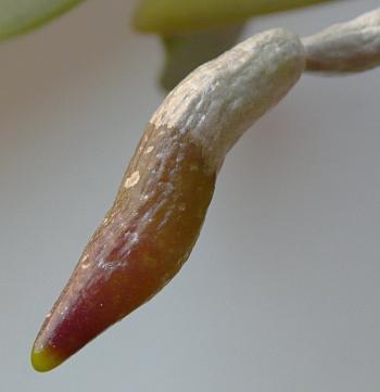 Phalaenopis - kořen