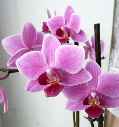 Phalaenopsis - květ