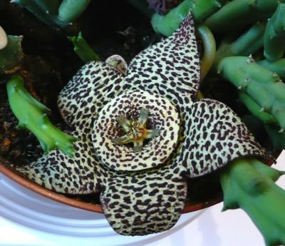Květ stapélie