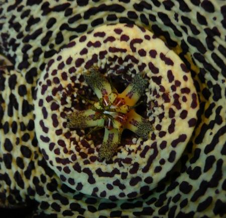Detail květu stapélie