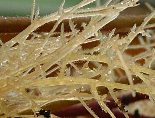 Aeschynantus radicans - kořeny