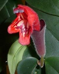 Aeschynanthus radicans - kv