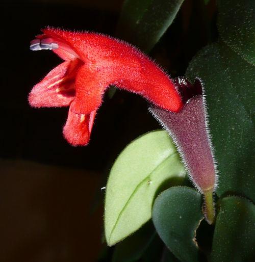 Aeschynanthus radicans - květ