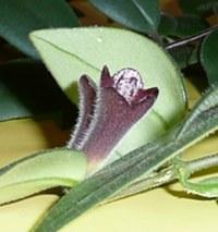 Aeschynanthus radicans - poupě