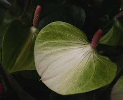 Anthurium - bílý květ