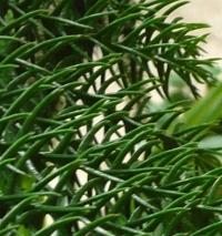 Araucaria heterophylla - detail jehličí