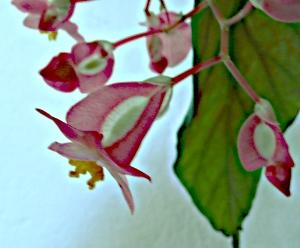 Begonia corallina - květ