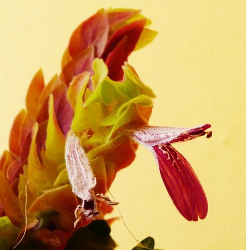 Beloperone guttata - květ