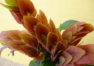 Beloperone guttata - květenství