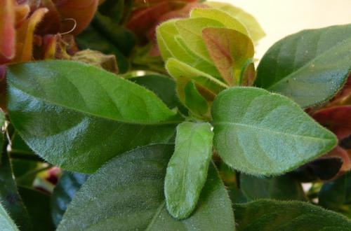 Beloperone guttata - listy