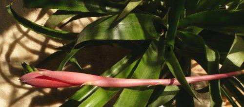 Květenství - billbergia windii