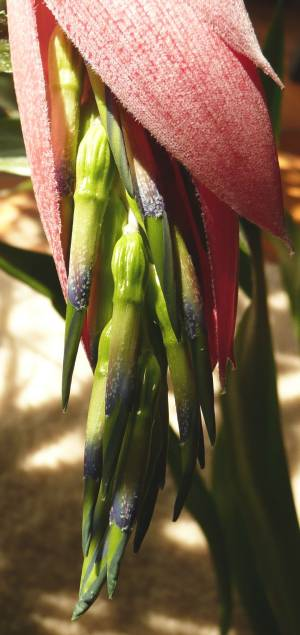 Billbergia windii - květ
