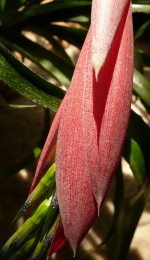 Billbergia windii - listeny