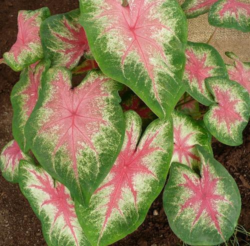 Caladium bicolor \