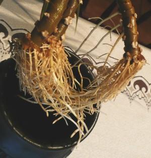 Dracaena marginata - kořeny